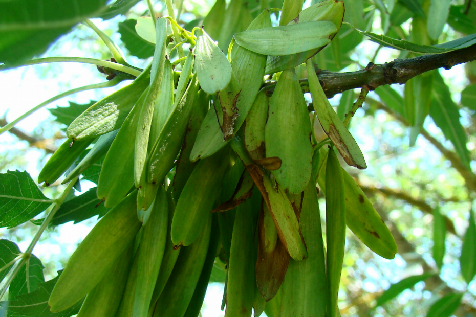 Fraxinus_angustifolia_subesp_angustifolia_utad