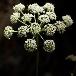 Peucedanum Gallicum © Foto: flora-on.pt