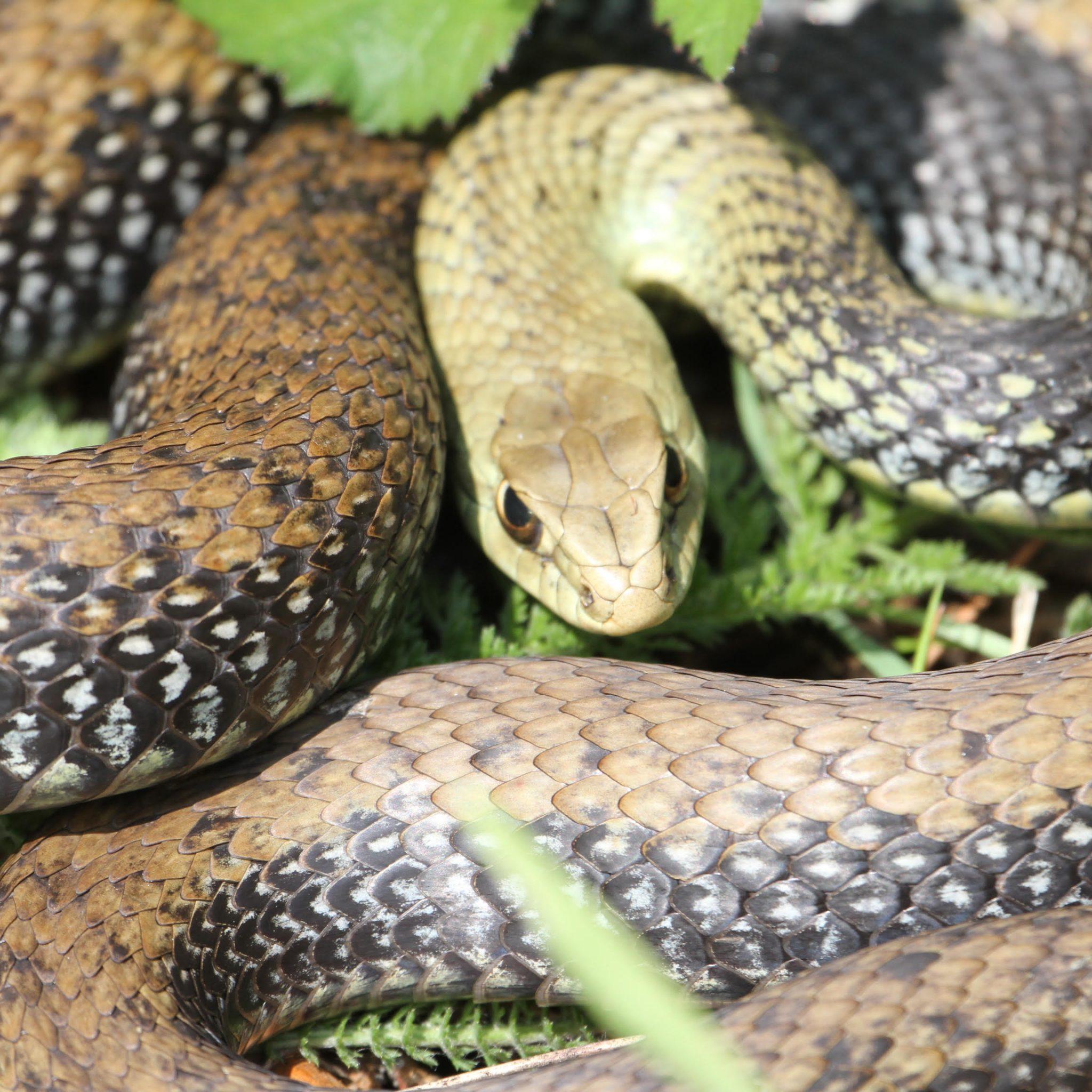 Cobra-rateira (Malpolon monspessulanus) © Paulo Santos