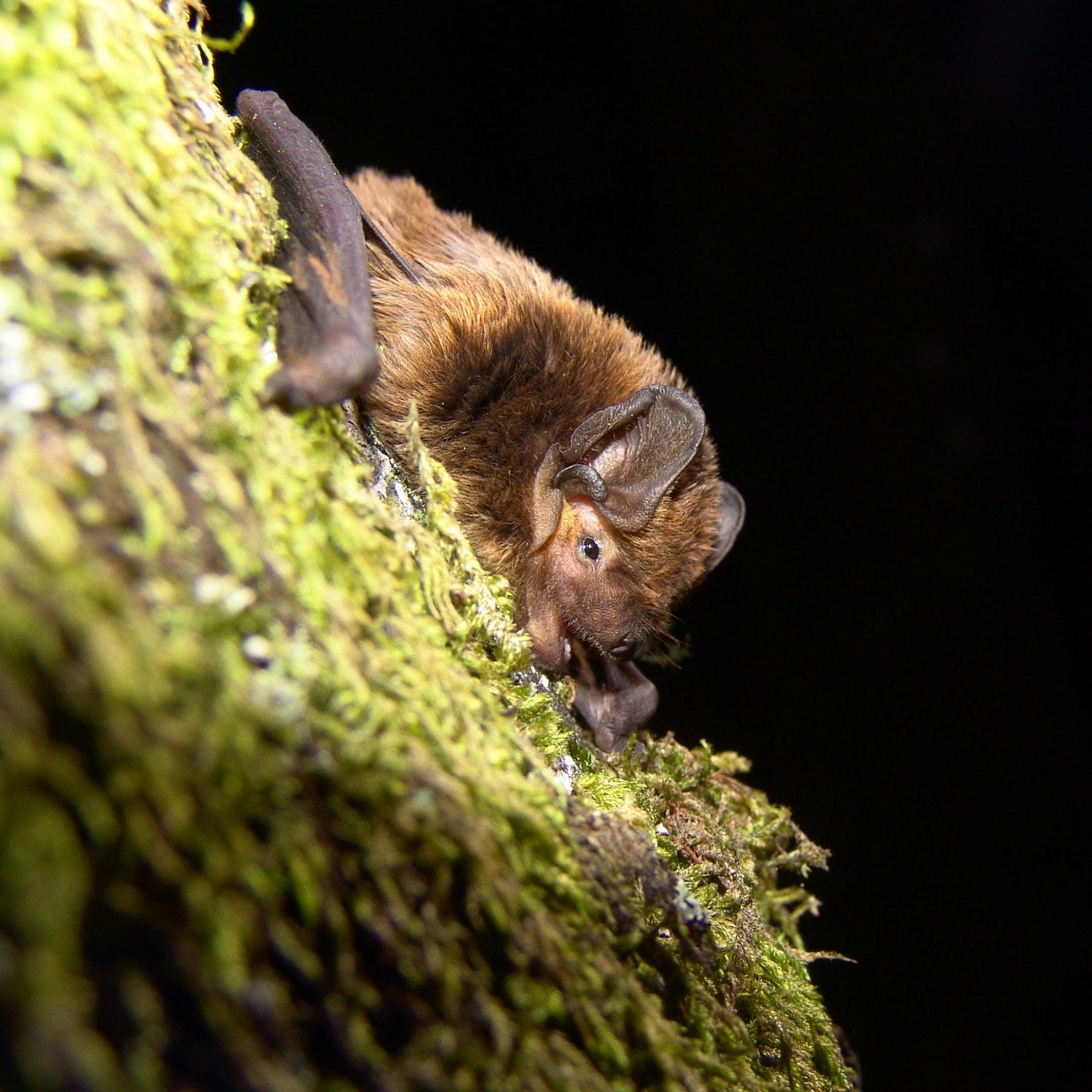 Morcego-arborícola-pequeno (Nyctalus leisleri) © Paulo Barros