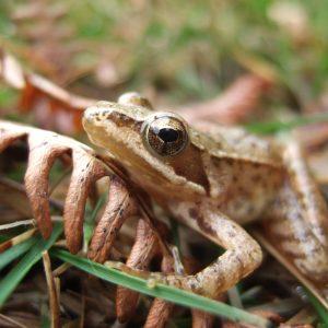 Rã-ibérica (Rana iberica)