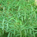 Carvalho-alvarinho (Quercus robur) © Fotos: UTAD | Jardim Botânico