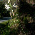 Paradisea lusitanica © Fotos: UTAD| Jardim Botânico e flora-on.pt