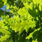 Carvalho-alvarinho (Quercus robur) © Paulo Santos e UTAD | Jardim Botânico